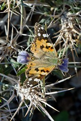 Painted Lady feeds on Eyelash plant (Bob Reimer) Tags: butterfly oman paintedlady vanessacardui khutwah enhg wilayatmahdah lepidotpera blepharisciliaris