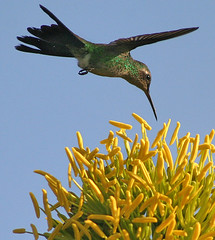 Cuban Emerald Hummingbird (Chlorostilbon ricordii) (Hamilton Images) Tags: flower bird nature animal wow island wings hummingbird cuba 2006 animalplanet fbwnewbird fbwadded cubanemerald chlorostilbonricordii avianexcellence