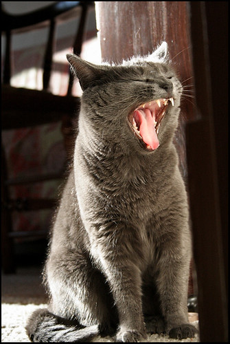 picture of yawning cats_2