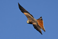 Red Kite Enjoying Flight (Foto John) Tags: wales canon birdsofprey redkite milvusmilvus roofvogels eos30d rodewouw ef100400mmlis
