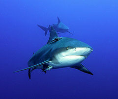 patrol (Fiona Ayerst) Tags: ocean blue motion beauty animals grey shark big underwater indian teeth scuba bull sharks strength mozambique zambezi abigfave impressedbeauty