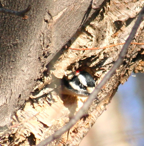 downy woodpecker in hole