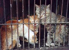 cat_p1 (melancholy honey) Tags: cats dogs asia cruel