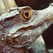 CaymanCrocodile