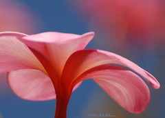 Pink and Blue (Pink Hibiscus) Tags: pink hawaii nikon plumeria explore frangipani d200 allrightsreserved 2007 excellence copyrighted iloveit plumi interestingness3 nikond200 i500 pinkhibiscus nikonstunninggallery abigfave ibybvd072 explore26jan07 ibybvd072f passionforplumeria