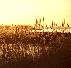 ... the light that lingers ... (Mieke Vos Photographics) Tags: light sunset lake inspiration reed water netherlands beautiful dutch grass yellow gold freedom golden zen spiritual harderwijk dike philosphy nunspeet goldenglow kahlilgibran goldensun instantfave knardijk miekevos aplusphoto lakeveluwemeer