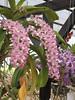 The Cute Orchid - ช้างกระ - Rhynchostylis Gigantea - เอื้องต๊กโต