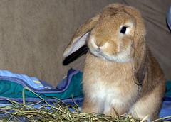 Boef (Sjaek) Tags: pet cute rabbit bunny animal furry sony adorable fluffy hay alpha a100 boef