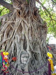 Buddha Head at Wat Phra Mahathat Temple in Ayutthaya, Thailand (_takau99) Tags: city trip travel vacation portrait holiday tree heritage smile face topv111 statue thailand temple trapped topv555 topv333 nikon ruins asia southeastasia head buddha buddhist topv1111 faith topv999 topv444 january ruin buddhism 321 topv222 historic unesco thai tropical coolpix fixed topv777 s1 wat caught topv666 2007 worldheritage ayutthaya topv888 nikoncoolpix topf5 watphramahathat takau99 histriccity