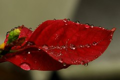 Drops, --to winners and 2nd bests-- (tollen) Tags: red love water drops bravo bears poinsettia passion colts specnature abigfave artlibre impressedbeauty superbmasterpiece