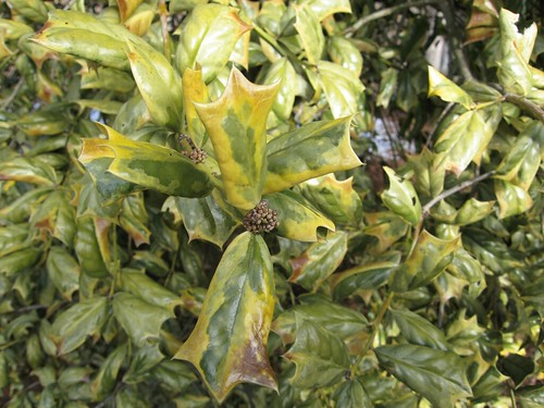 image Ilex cornuta 'O. Spring' leaves