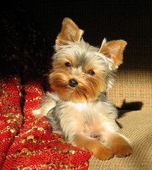 My Little London (Trish Overton) Tags: dog sun eye yorkie puppy yorkshire sunny explore terrier blanket pup abigfave instntfave