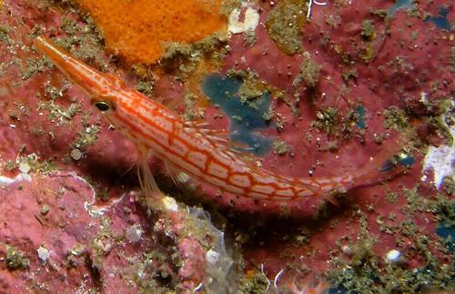 Oxycirrhites typus - Longnose Hawkfish (Richelieu Rock)