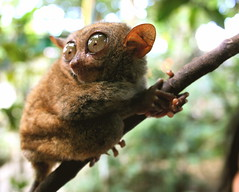 Mascot (The Wandering Angel) Tags: travel cute tourism animal wow philippines explore cuddly bohol filipino primate pinoy wonders visayas tarsier specanimal