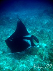Manta Ray at Similan Islands, Thailand