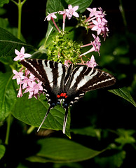 Zebra swallowtail (bobj03054) Tags: macro massachusetts buttterflies