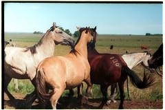 (Robvini) Tags: leica pasto fujifilm cavalos pampa campanha uruguaiana iiic remates brete pastagem crioulos