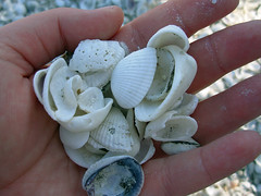22 sanibel seashells