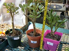Jade Plants - Numbered