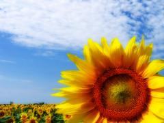 Sunflower a la Mr. Orton (*Jeff*) Tags: sky field clouds sunflower orton colorphotoaward