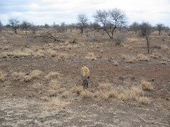 Spotted hyena (Marlize2007) Tags: southafrica hyena krugerpark