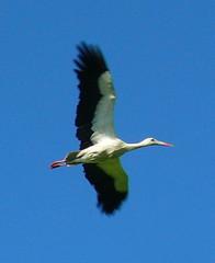 cicogna (Simone Zucchelli {ZUCCSIM}) Tags: bird nature wwf uccello oasi cicogna zuccsim