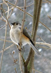 Bird - Tufted Titmouse in winter (blmiers2) Tags: winter snow newyork bird nature beautiful birds canon geotagged wildlife powershot uccelli g6 titmouse birdwatching avian 2007 smallbirds tuftedtitmouse wildbirds baeolophusbicolor passeriformes backyardbirds paridae birdphoto titmousebird birdpictures commonbirds natureinwinter titmousephotos tuftedtitmousephotos tuftedtitmousephoto tuftedtitmousephotographs titmousephoto picturesbirds blm18 blmiers2