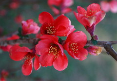 red flower of the Japanese Flowering Quince (bruce c eichman photography) Tags: flowers red wild plants flower macro tree closeup fauna photography japanese spring strawberry backyard texas dof blossom bokeh tx c bruce capital bloom flowering bud scrub cv quince chaenomeles poteet rosaceae floweringquince eichman cultivar allrightsreserved 78065 atascosacounty bceichman02 chaenomelescv bruceceichmanphotography top20texas bestoftexas strawberrycapitaloftexas