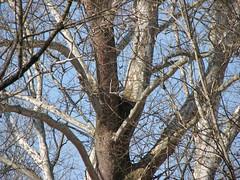 Nisbet nest