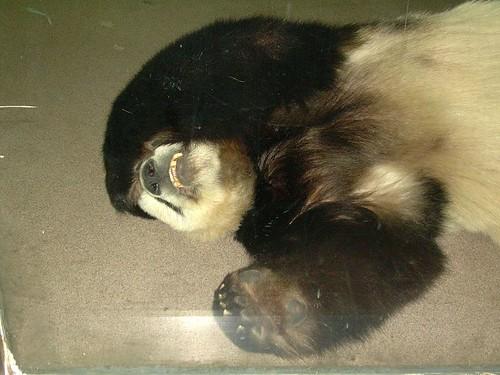 panda with a hangover