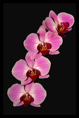 pinkbranch (francesca!!) Tags: pink black night branch orchids phalaenopsis excellence alignements