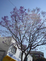 tree jacaranda (polinsky) Tags: city mexico jacaranda