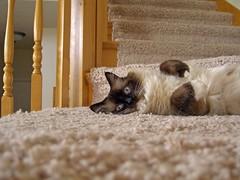 Speedbump :-) (janoid) Tags: stairs cat siamese landing daffodil furryfriday yougogirl bunnypose bestofcats impressedbeauty lmaoanimalphotoaward sheloungeshereonthestairssosheisintheperfectspottomakearunforthedoorifsomeonecomesorgoes shegetsoutatleastonceaday sheseemstoforgetthatshehasnoideawhattodowhenshesucceeds sherunsaroundaimlesslyandsoonwantstogetrightbackinside butthentheothercatsrunovertoherbecausetheycantellsheshadanadventure shebragstothemforawhileaboutallofthecoolthingsshedidwhileshewasawol theyaredazzled shestheonlygirlandsheputsthoseboysintheirplacesbyexploringthebigwildworld