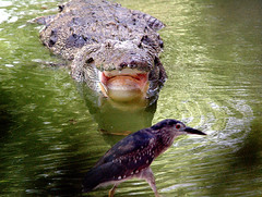 crocodile (Fahim Siddiqi) Tags: pakistan bird animal photo photographer nikond70 karachi sindh freelance fahim