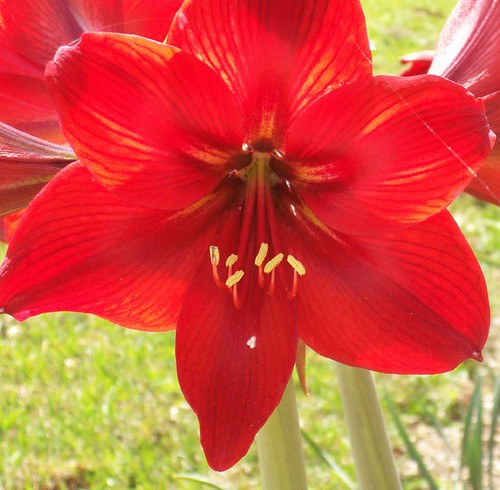 Amaryllis, backlit