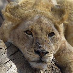 Lion, up close & peronal