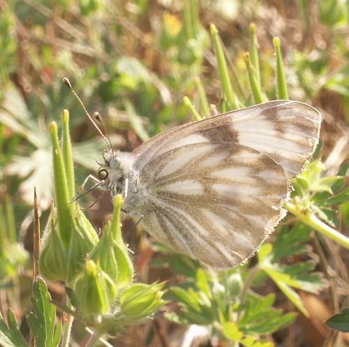 Female Checkered White