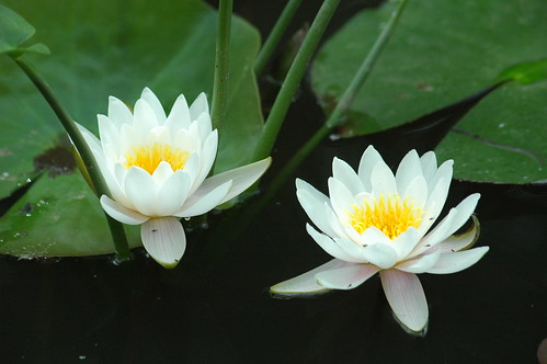 2 Lillies Polarized