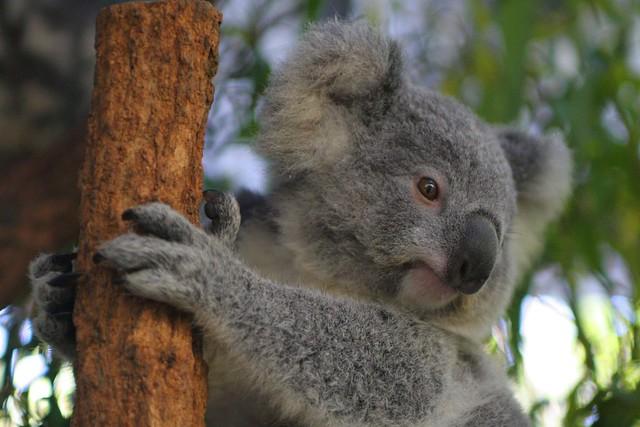 Czy miś koala to naprawdę miś?