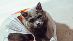 12.12.2016 (Fregoli Cotard) Tags: cat bag catinabag kitty grey greykitty greycat whitefloor whitewood plasticbag cattoy cutekitty britishlonghair british britishcat dailyjournal dailyphoto dailyphotograph daily 366 366daily 366dailyproject 366days 366dailyphoto 366dailyjournal 366project 366photoproject 366photos everydayphoto everydayphotography aphotoeveryday everydayjournal photojournal photodiary photographicaljournal 347366 347of366