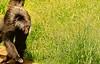 Visita ao Zoológico de São Paulo, Brasil - Visit the Zoo Sao Paulo, Brazil - Macaco-aranha-de-cara-vermelha (Ateles paniscus) (de Paula FJ) Tags: zoo zoológico zoológicodesãopaulo cidadesãopaulo brasil brazil brèsil afternoon tarde árvores trees woods sky céu clouds núvens lago lake fauna animals animais mamíferos aves répteis anfíbios invertebrados mammals birds reptiles amphibians invertebrates nikond7000 caminhada walking outdoor arlivre nikon70300mmf4556gafsvr sãopaulocity primata atelespaniscus macacoaranhadecaravermelha coatá espécieameaçada