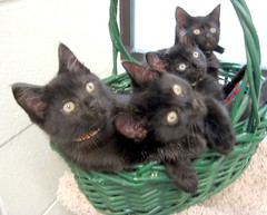 Four Little Black Kitten Siblings (Pixel Packing Mama) Tags: beautiful catwomen adorable precious catsandkittensset furryfriday blackcats 600views cutekittens exclamationpoints bcb heartlandhumanesociety catpix pixelpackingmama catssmalltobig 666v6f dorothydelinaporter worldsfavorite beautyisintheeyeofthebeholder cc600 catcentury catscookiecatfriends theoneblackcat favoritedpixset mostinterestingaccordingtoflickralgorithmset spcacatspool spcacats cat500 christmastime2006set commentedwithanicondirectorygroup exclamationpointspool pixwithexclamationpointsincommentsset cats views1000andupdomesticcatsonlypool uploadedsecondhalfof2006set exclamationpointsincommentsset christmascatskittensset oversixmillionaggregateviews over430000photostreamviews