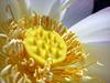 Lotus - nelumbium - 2 (Cyberfug) Tags: plants flower macro nature lotus nelumbium diamondclassphotographer flickrdiamond