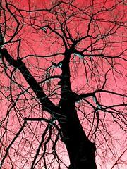 in(f)erno (Nicola Zuliani) Tags: trees tree nature alberi nicola natura morte inferno albero inverno rosso rami nizu zuliani nicolazuliani nizuit wwwnizuit