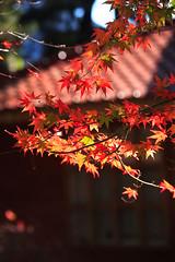 _MG_3711 (Phanix) Tags: winter geotagged maple scenery taiwan 2006 taichung   geotoolyuancc geolat2424417 geolon121245847
