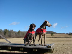 Magnus and Gunther on the hay wagon 4 (Magunth) Tags: weimaraner germanshorthair gsp sonydsch5