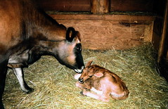 Jersey Cow & Calf