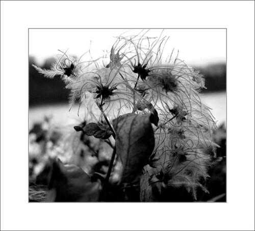Flocon végétal / Flake flower