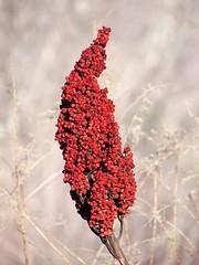 Sumac Seeds ( D L Ennis) Tags: plants mountains flower tree nature paradise head sumac seeds parkway variety blueridge nonpoisonous sumactree