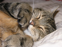 all danced out (bearded_avenger) Tags: sleeping brown cat nose furry tabby ears whiskers stripey paws tomcat thepuss cc100